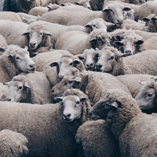 羊群 咩咩 草原 牲畜