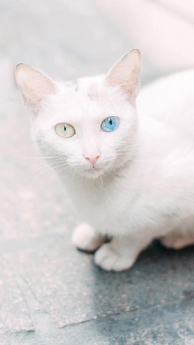 猫咪 异瞳 变异 白猫