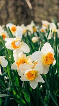 鲜花 水仙花 白色花瓣 黄色花芯