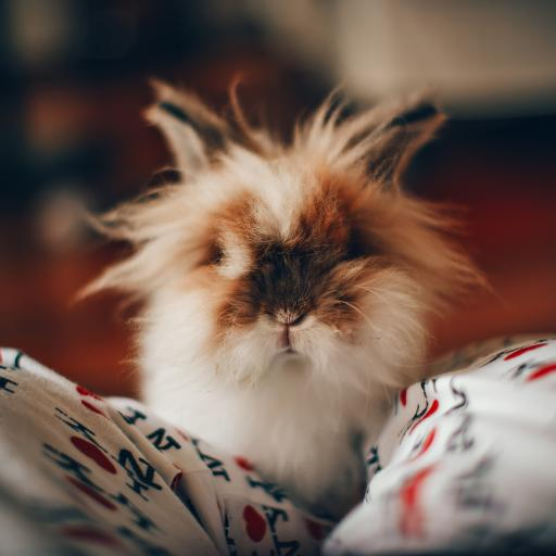 宠物 小兔子 长毛兔 可爱