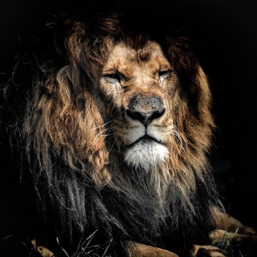 狮子 丛林之王 雄狮 凶猛
