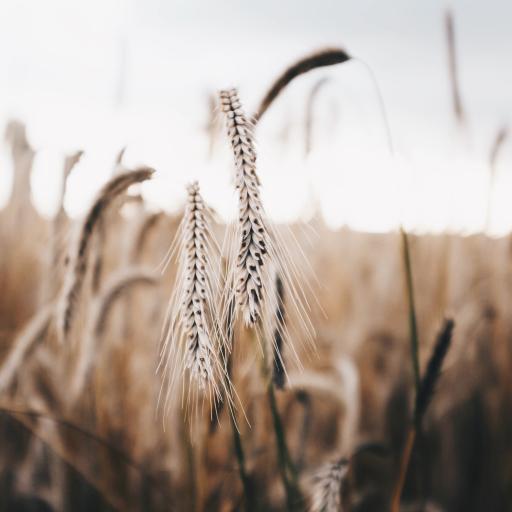 郊外 麦穗 麦芒 粮食