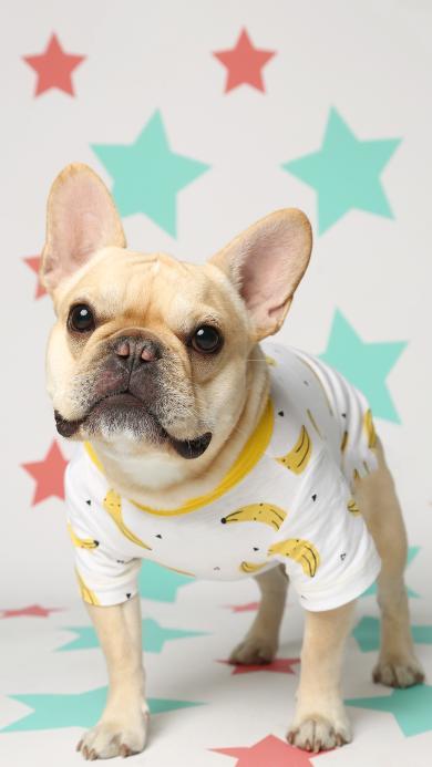宠物狗 法斗犬 呆萌 香蕉衣服