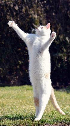 宠物猫 白猫 站立 搞怪