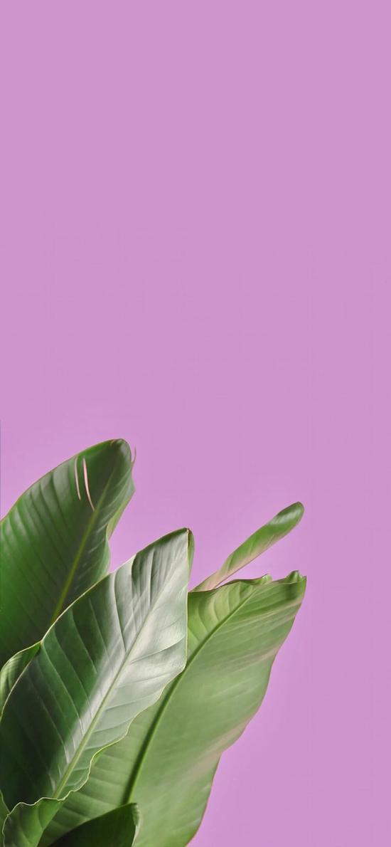 芭蕉叶 树叶 粉色 简约