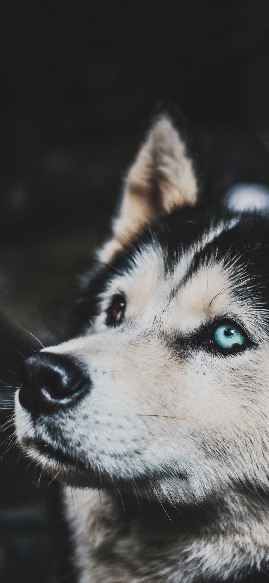 宠物狗 汪星人 哈士奇 蓝眼睛