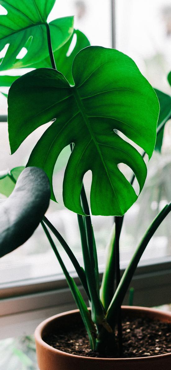 盆栽 植物 龟背竹 绿化
