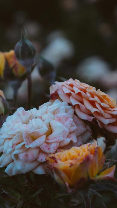 鲜花 盛开 花瓣 昏暗