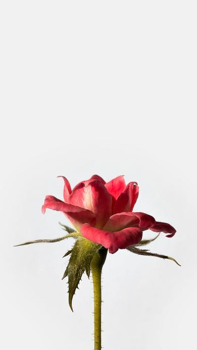 玫瑰 鲜花 盛开 一枝独秀