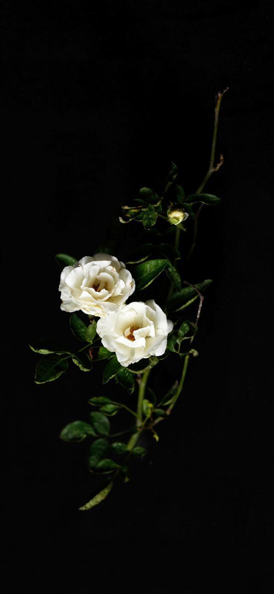 黑色背景 鲜花 白色 绽放