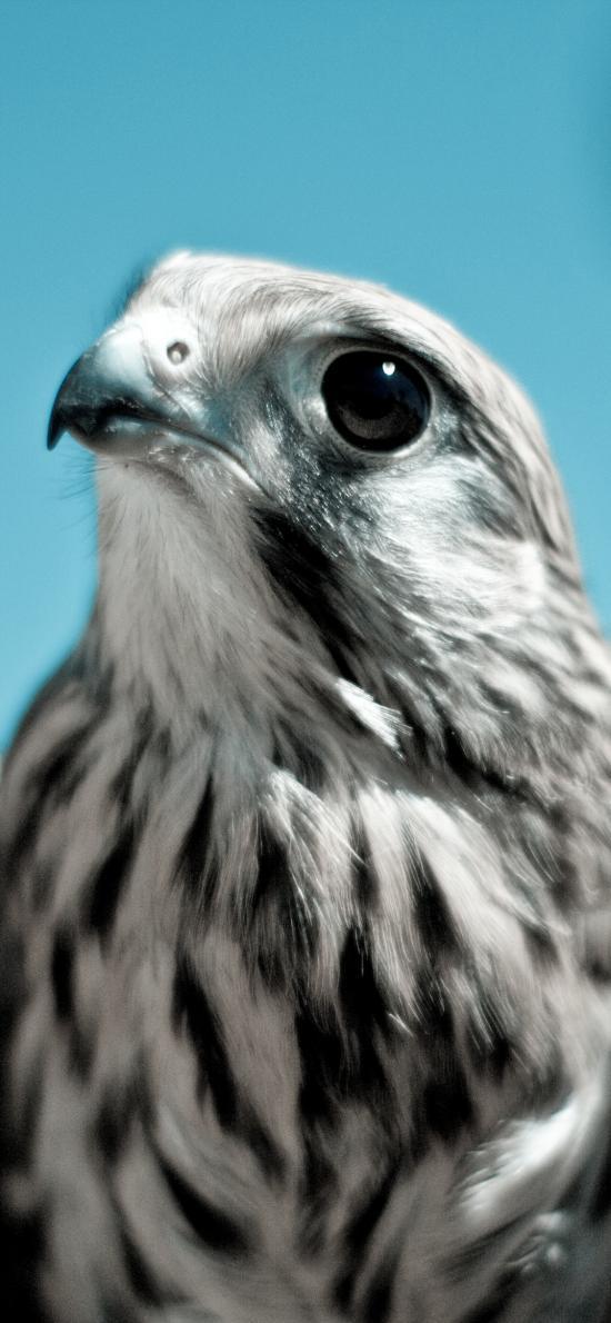鸟科 雏鹰 黑白羽毛