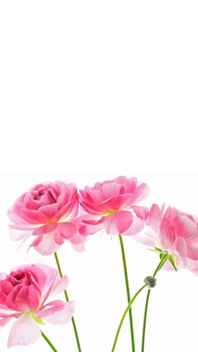牡丹 鲜花 唯美 盛开 枝干