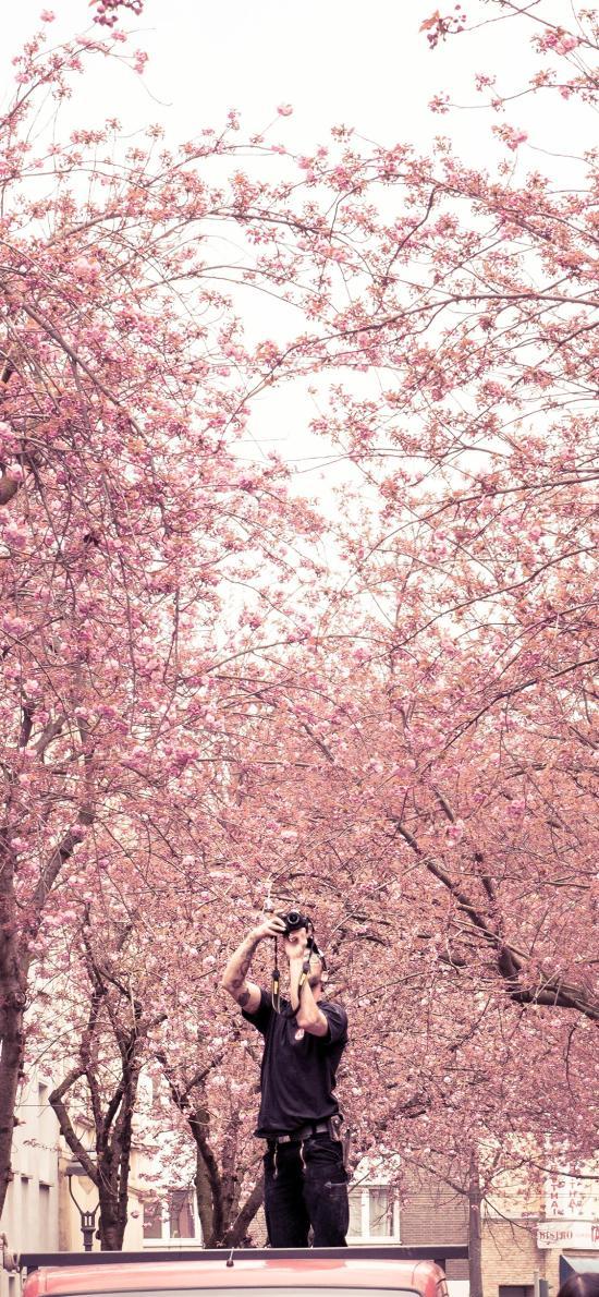 樱花 波恩 sonne 德国 粉色 街道 摄影