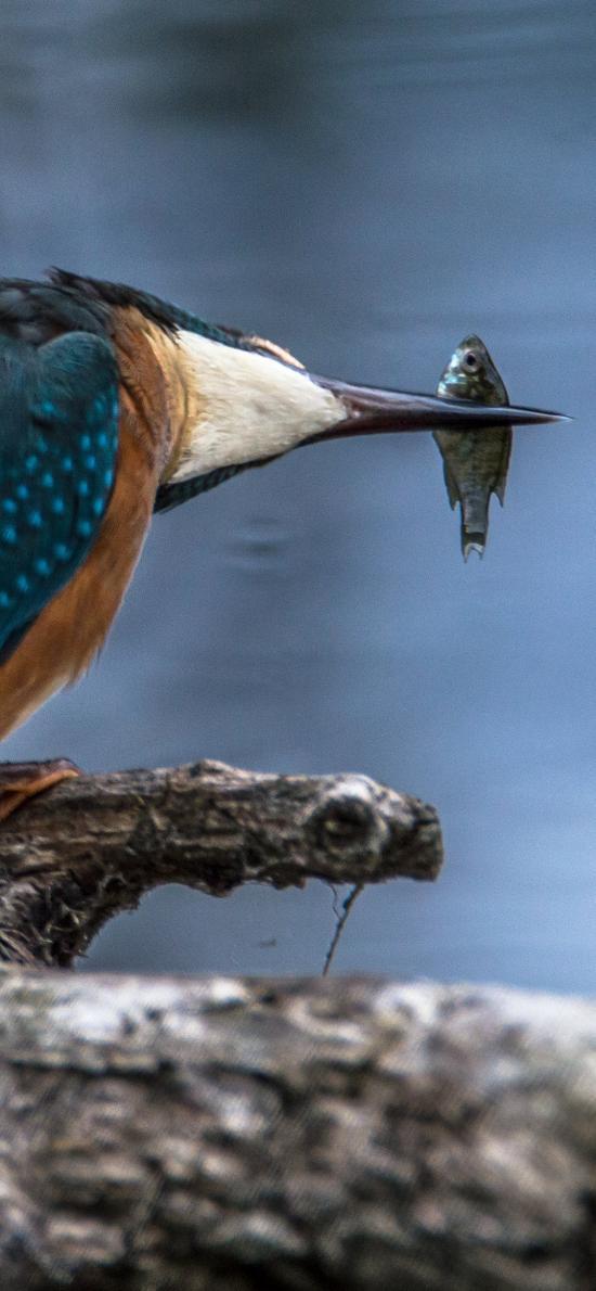 飛鳥 藍色羽毛 進食 小魚