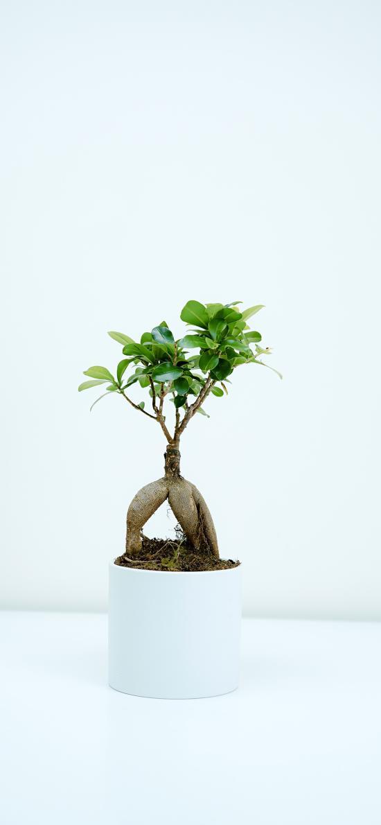 盆栽 松树 枝叶 造型