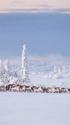 雪地 冬季 鹿群 白雪覆盖