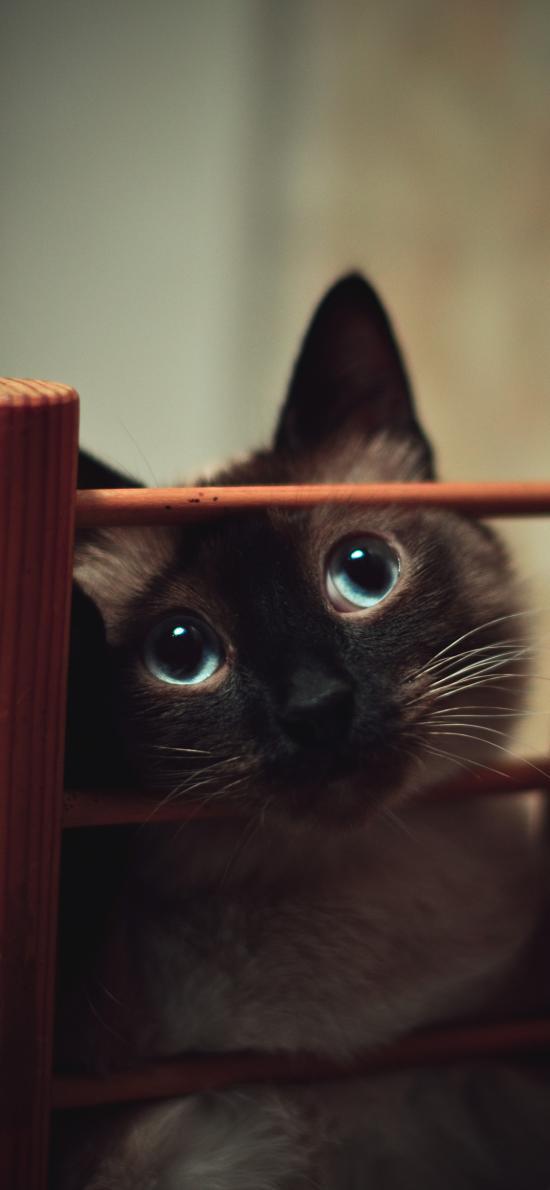暹羅貓 寵物貓 大眼睛 萌
