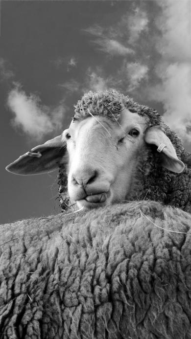 绵阳 羊羔 羊毛 黑白