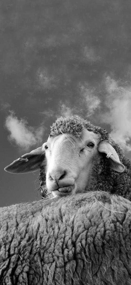 綿陽 羊羔 羊毛 黑白