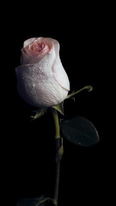 玫瑰 鲜花 水珠 花苞