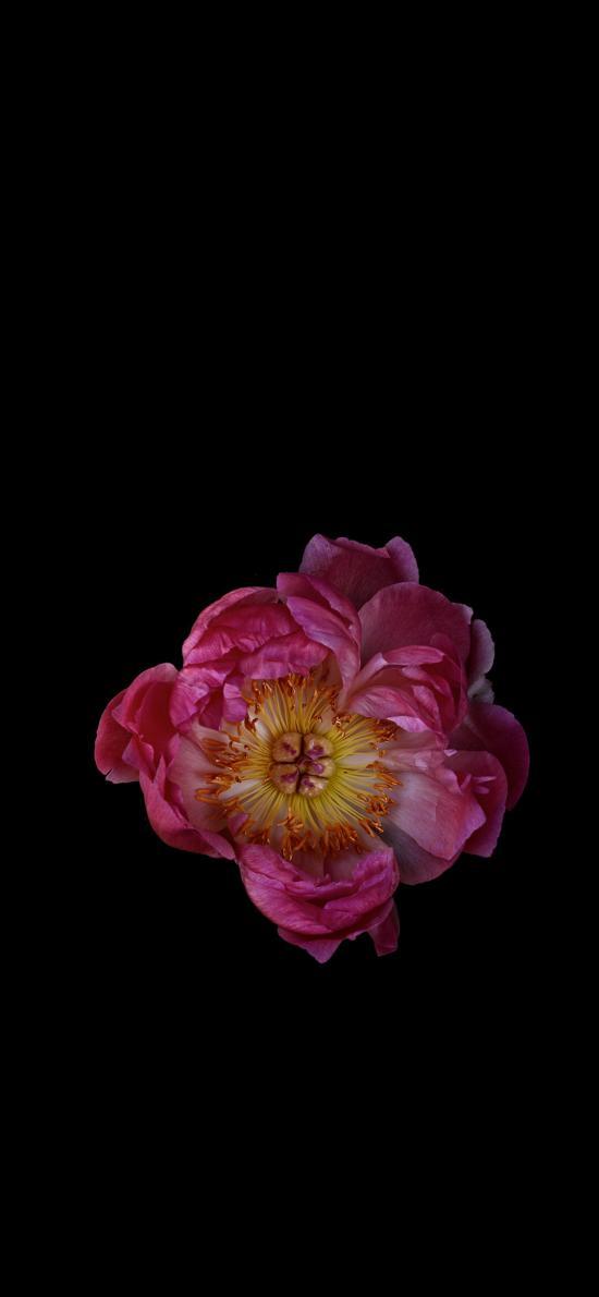蔷薇 鲜花 花瓣 花蕊 盛开 特写