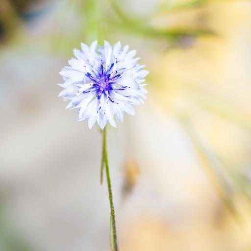 矢车菊 植物 鲜花 夏季花卉 芬兰