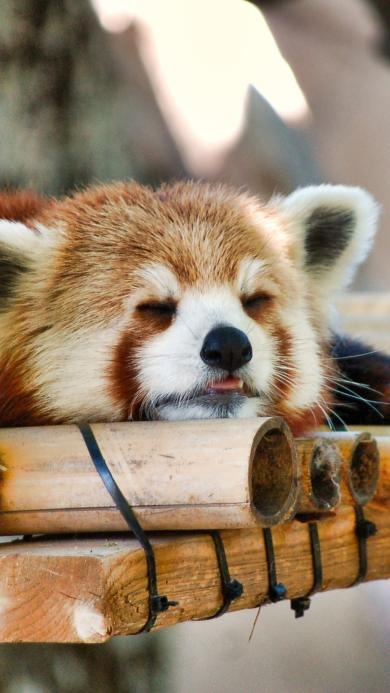 浣熊 哺乳动物 无危物种