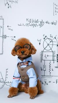 宠物狗 贵宾犬 写真 眼镜