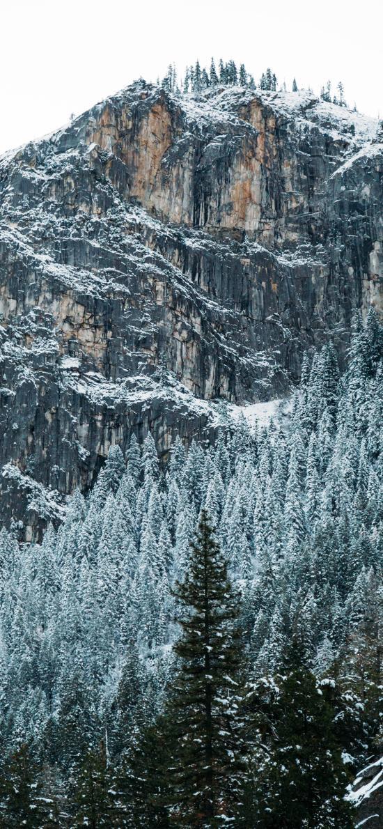 雪季 峭壁 高山 雪松