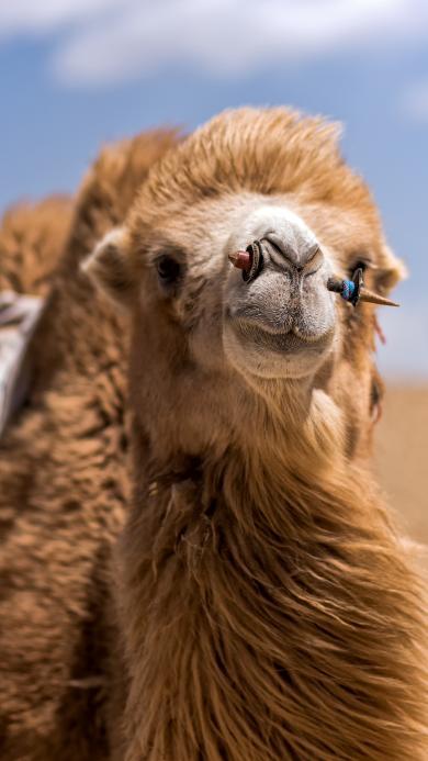 骆驼 砖石 鼻饰 沙漠