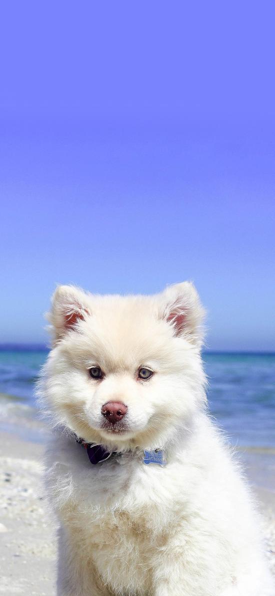 萨摩 宠物 室外 海边