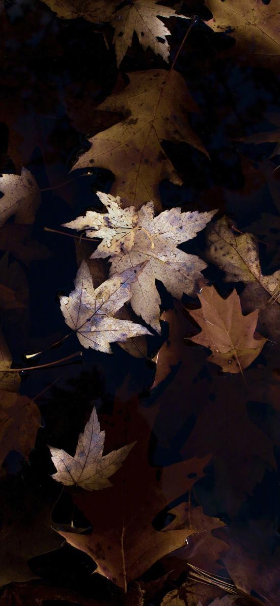枫叶 树叶 枯萎 秋天 季节