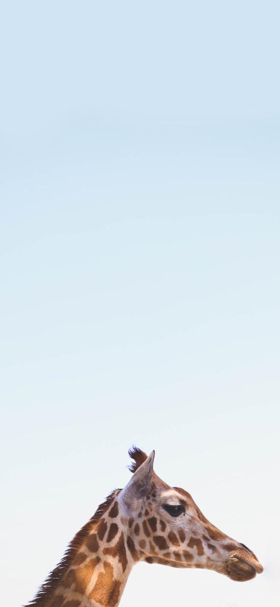 自然 蓝色 天空 动物 长颈鹿