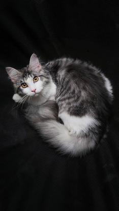猫咪 灰白 特写 宠物