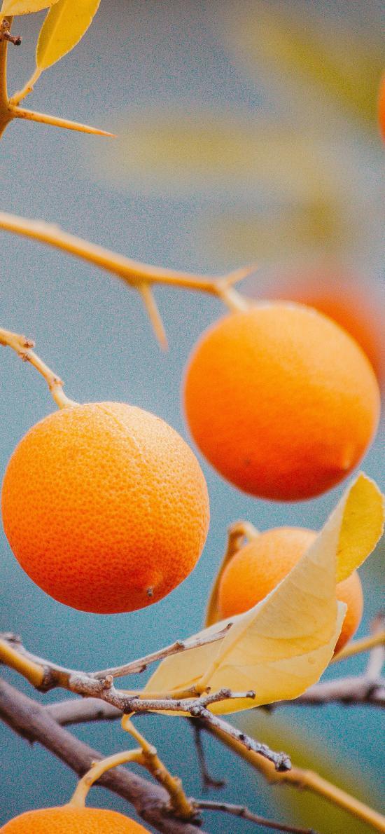新鲜水果 橙子 树枝