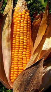 玉米 成熟 金黄 颗粒