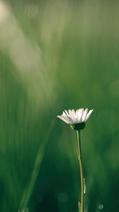 野花 白色 小雏菊