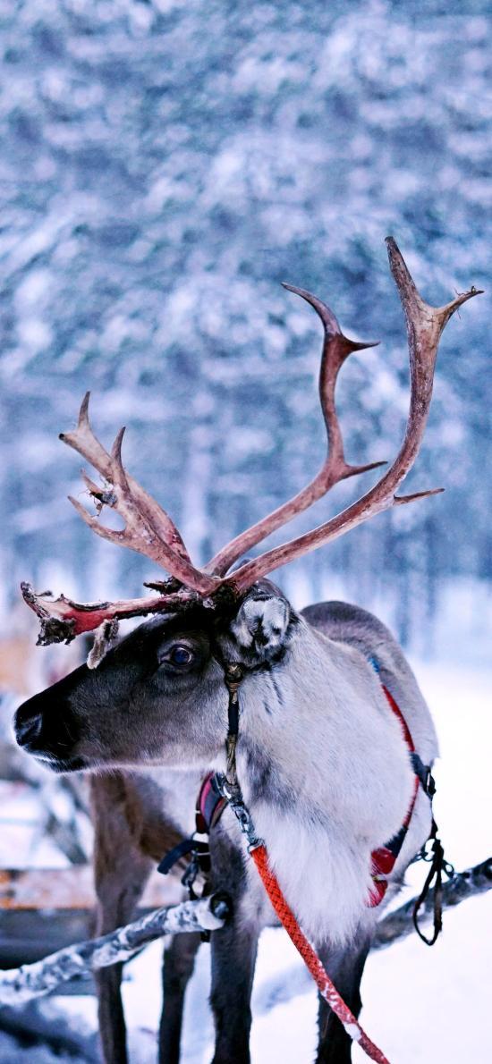 雪地 驯鹿 保护动物 雪橇