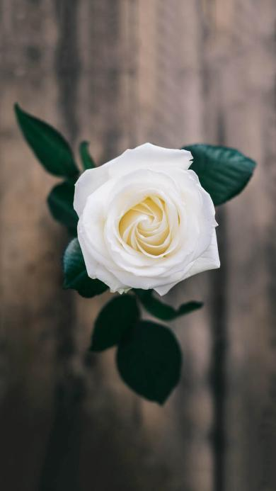 鲜花 白色玫瑰 绽放 纯洁