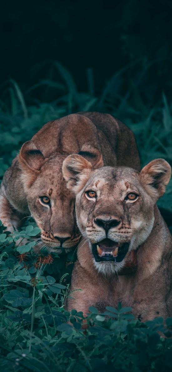 母狮 动物 狮子 凶猛