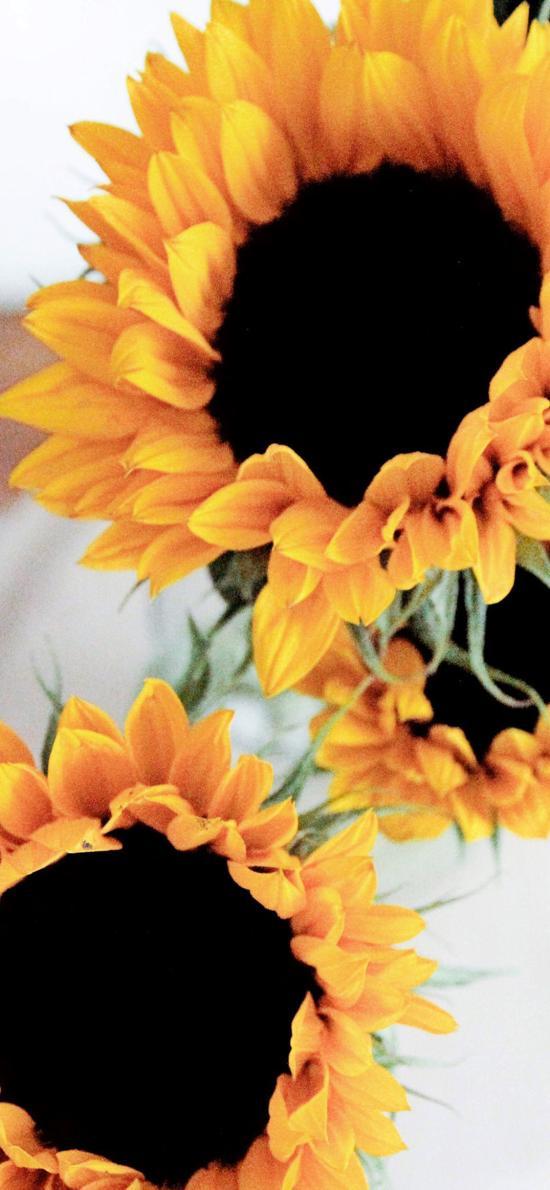 向日葵 花瓣 葵花籽