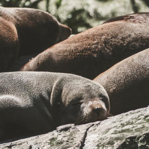 海边岩石 海豹 幼年 睡觉