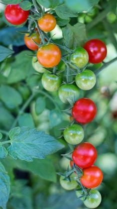 番茄 水果 青果 垂吊 枝叶