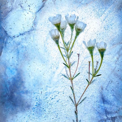 白色鲜花 小花朵 冰块 冰封