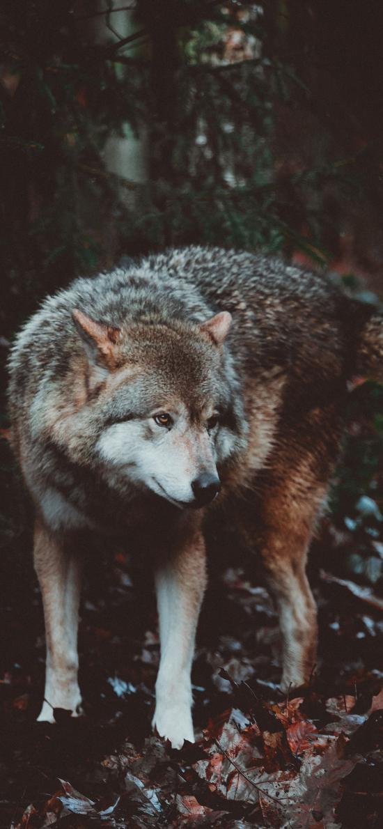 狼犬 皮毛 野外 凶狠