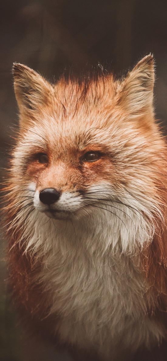 狐狸 羽毛 眼神 机警
