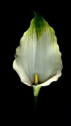 马蒂莲 鲜花 花瓣 特写