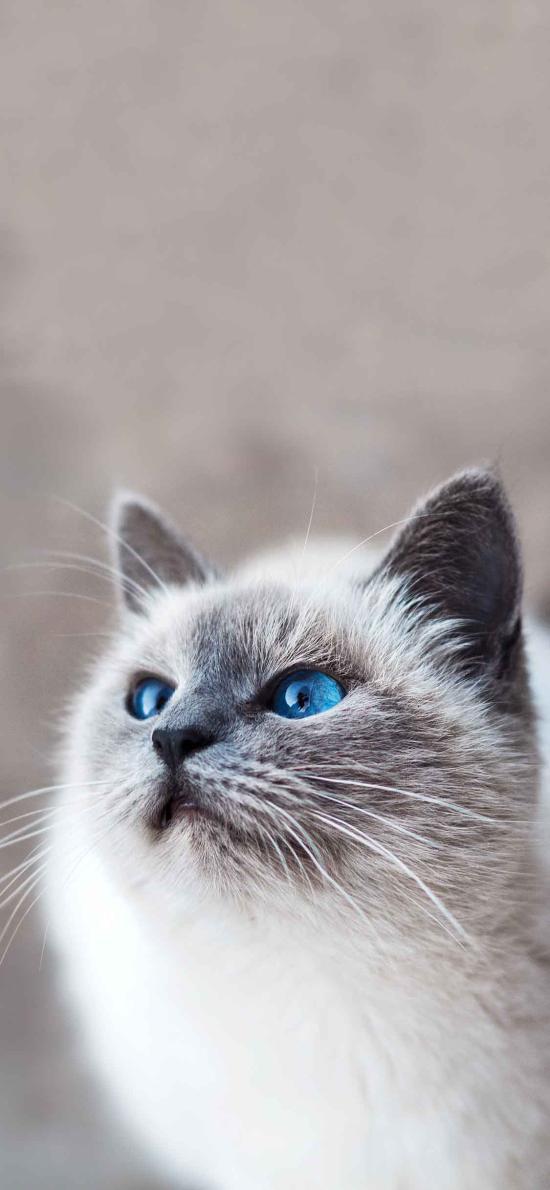 宠物猫 伯曼猫 缅甸圣猫 蓝瞳
