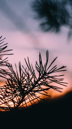 树木 松针植物 松树