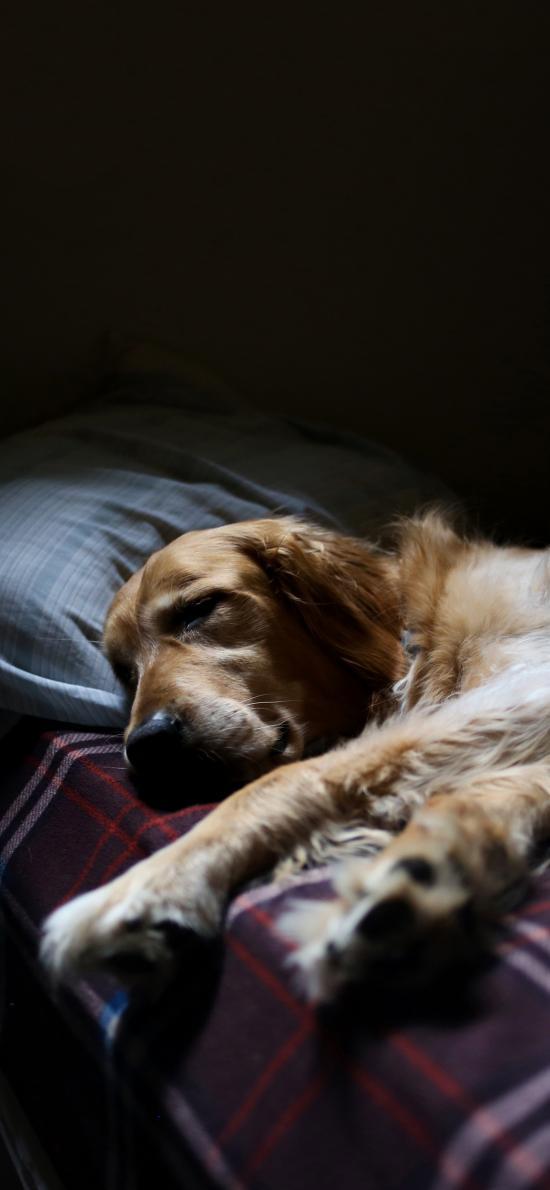 憨厚的大金毛犬 委屈 睡觉